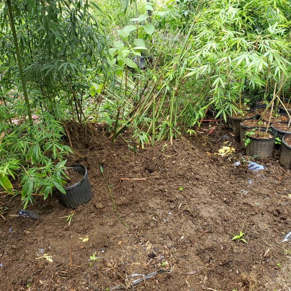 Bambusa gracilis graceful clumping bamboo plant