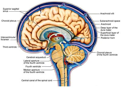 The Cerebrospinal fluid circulation