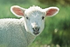 Jacstar - Affectionate & Gifted Level 7 Barbary Lamb Psychic Visions Animal Telepathy & More Await