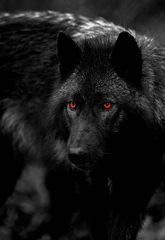 Lily's Commander Hellhound - King Of The Dark Hounds Demonic Like Magick!