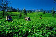 Royal Ceylon Gunpowder Green Tea