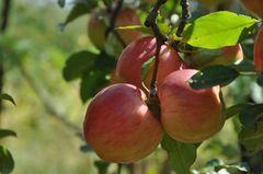 Apples - Gala - $1.50/lb