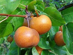Asian Pears - $2.00/lb