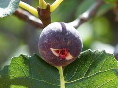 Figs - $3/lb