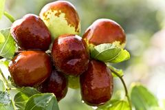 Jujubes*- Sold as Chinese Apples (1 lb. bag, ~ 16 jjb), Dried on tree with seed (1 lb. bag, ~16 jjb), Dehydrated & Seedless (8 oz. bag, ~19 jjb)