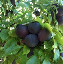 Plums - 2 lb bag (approx 18-22 plums) for $2.00 or $2/lb.
