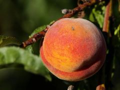 Peach* - White, $1.25/lb, Bulk orders $1.00/lb