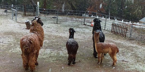 Llamas and alpacas in the snow