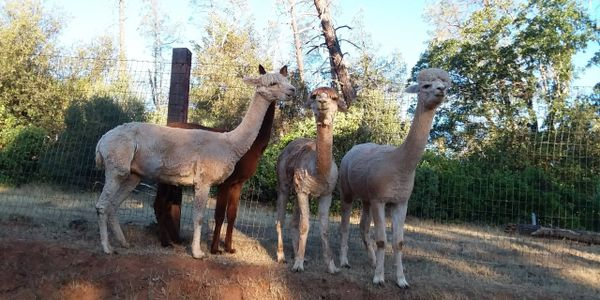 4 alpacas on a hill