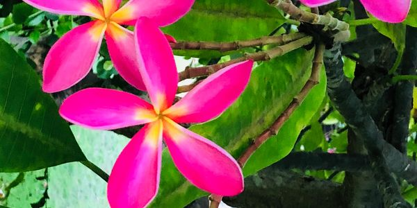 Plumeria Tropical Flower Maui Kihei, Hawaii