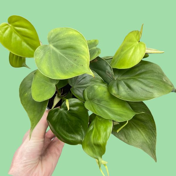 Philodendron Scandens 12cm Pot