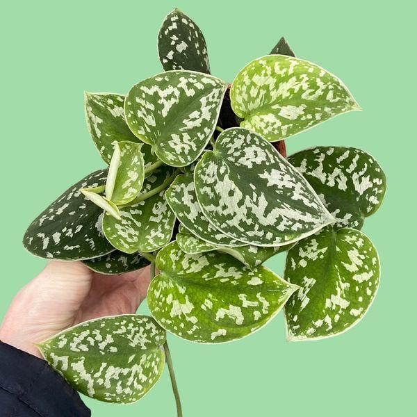 Epipremnum pictum Argyraeus - Satin Pothos 12cm Pot