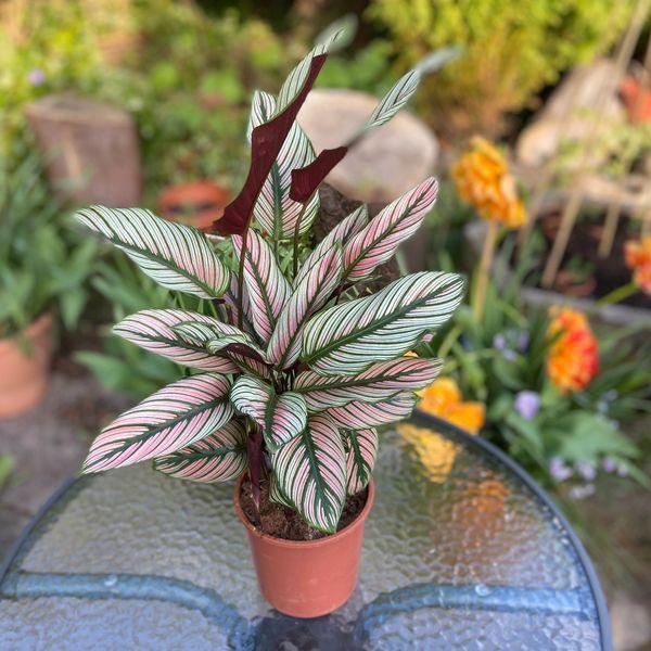 Calathea White Star (Zebra Plant) 14cm Pot