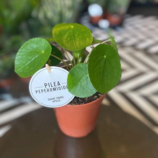 Pilea peperomioides 12cm Pot