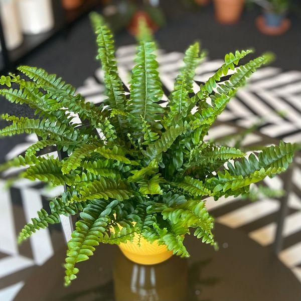 Nephrolepis exaltata 'Green Lady' Boston fern 12cm Pot