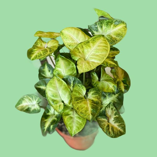 Syngonium podophyllum 'Pixie' 12cm Pot/20cm Tall