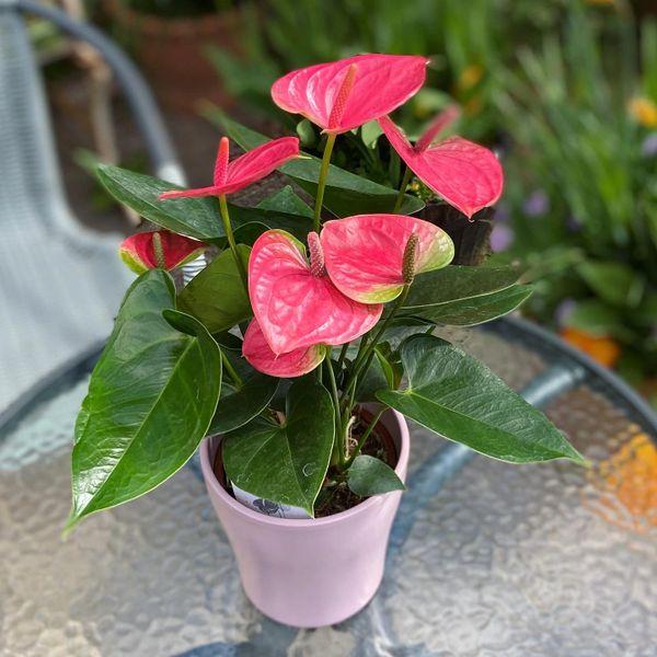 Pink Anthurium in Matching Pink Pot