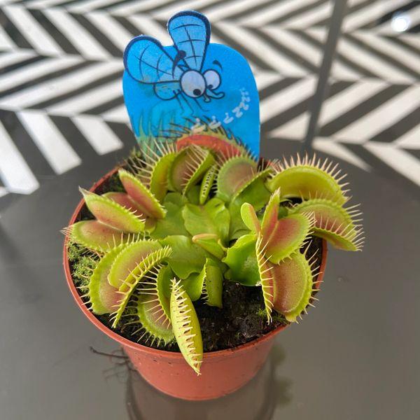 Dionaea Muscipula - Venus Fly Trap 8.5cm Pot