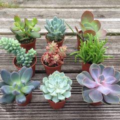 Set of 3 Mixed Succulent Plants in 5.5cm Pots