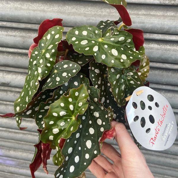 Begonia Maculata - Polka Dot 12cm