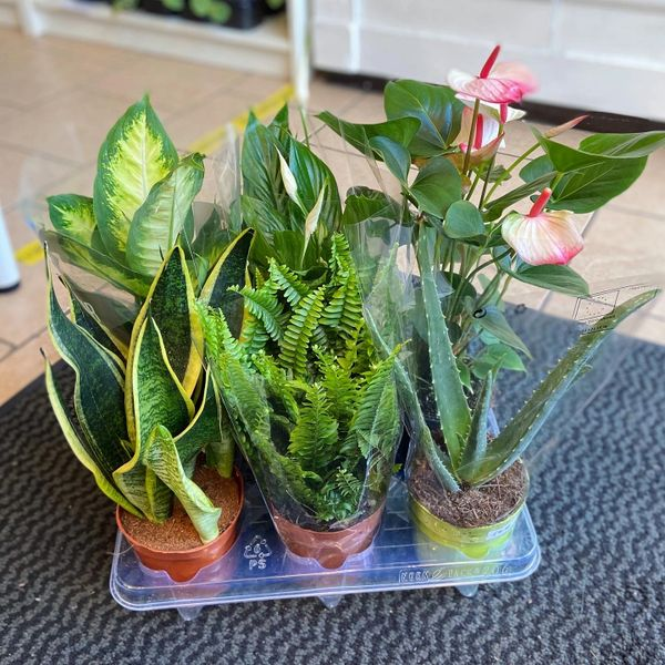 3 Air Purifying Plant Bundle