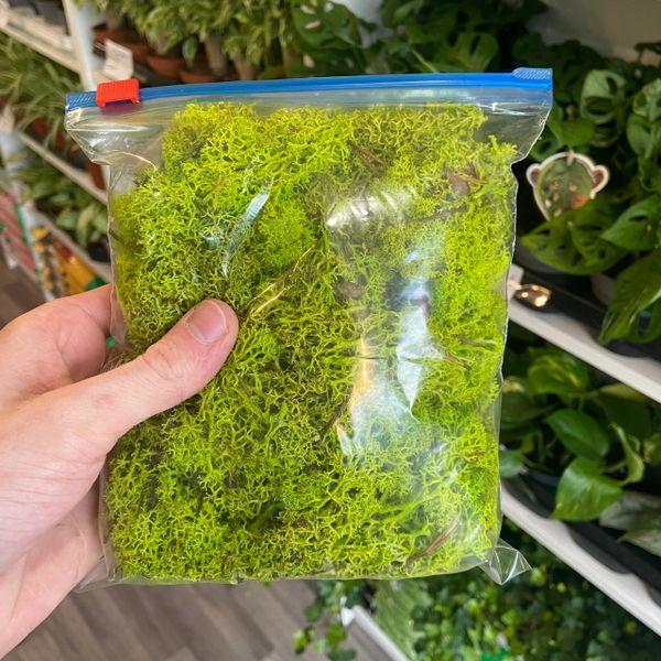 Green Reindeer Moss - Small Bag