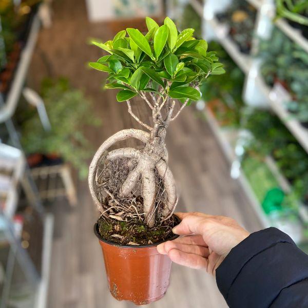 Ficus Ginseng (12cm Pot)