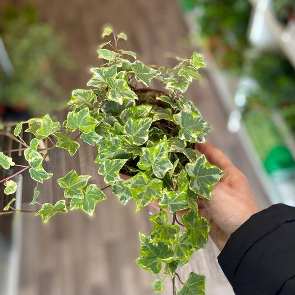 Trailing Ivy Hedera (12cm Pot)