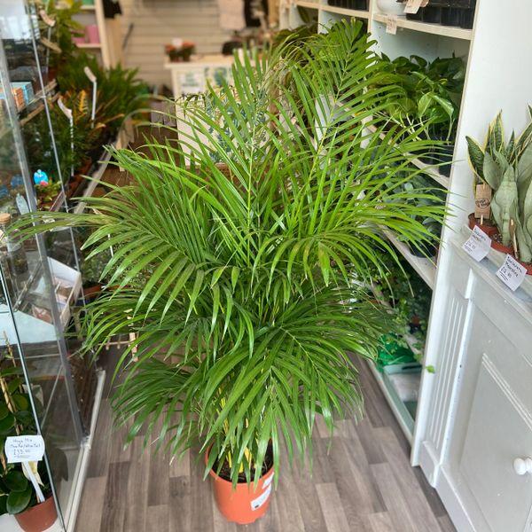 Chrysalidocarpus lutescen Palm (24Ø 130cm Tall)