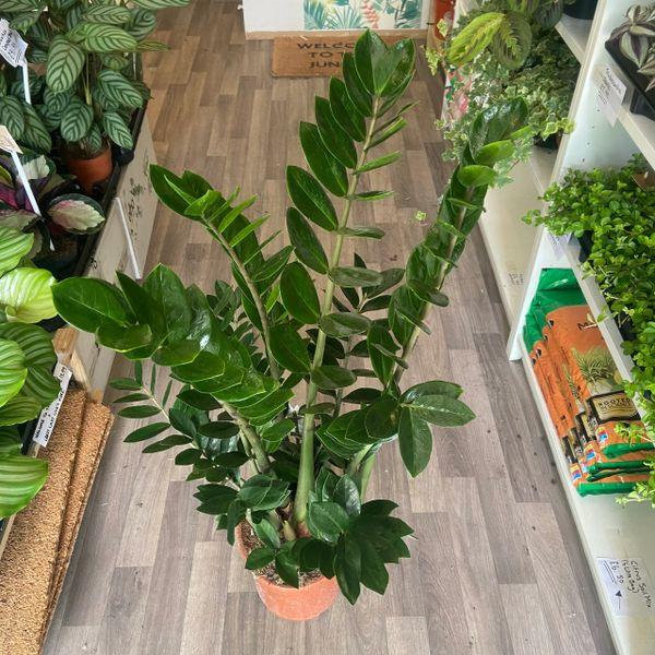Large Zamioculcas Zamifolia 21cm Pot/90cm Tall