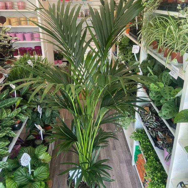 Kentia Palm | Howea forsteriana | 200cm Tall