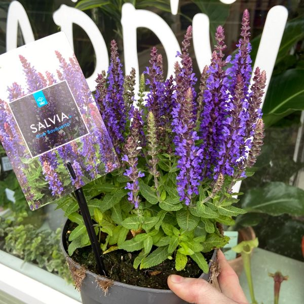 Salvia Blue Bouquetta (2 Litre Pot)