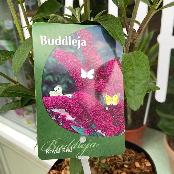 Buddleia Royal Red (3 Litre Pot)