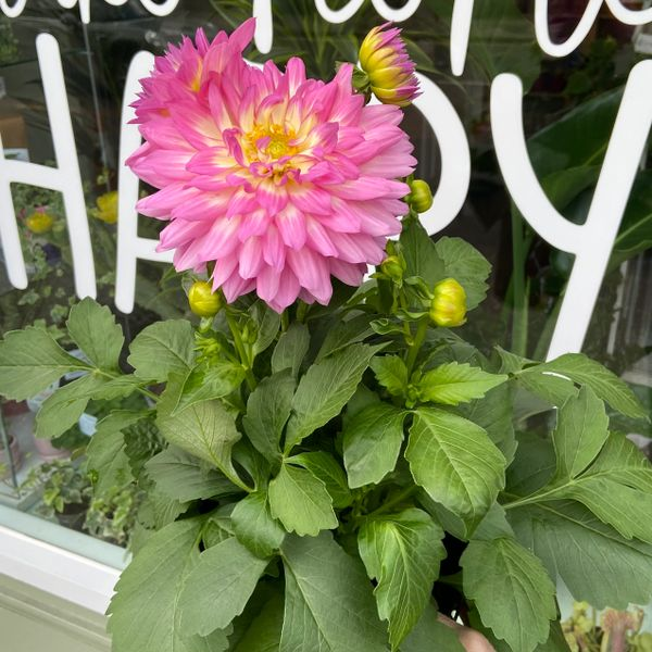 Dahlia Hybrid Pink (3 Litre Pot)