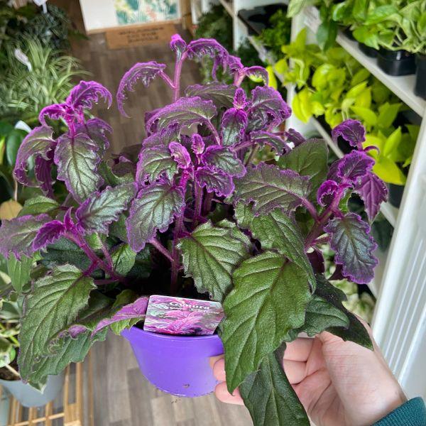 Gynura Purple Passion in 15cm Pot