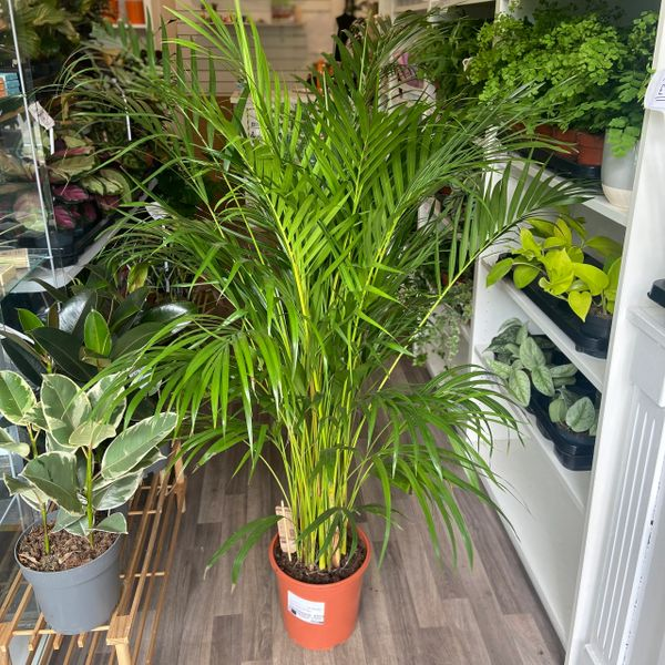 Areca Palm - Chrysalidocarpus lutescen (24cm Pot/150cm Tall)