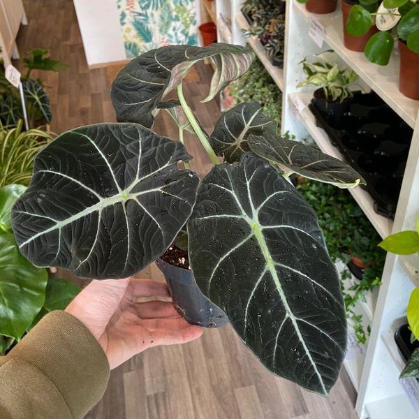 RARE - Alocasia black velvet (12cm Pot/25cm Tall)