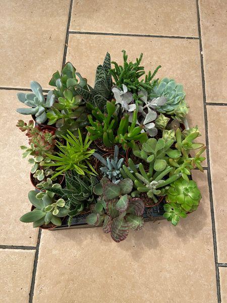 80-100 Mixed Succulent Plants 5.5cm Pot