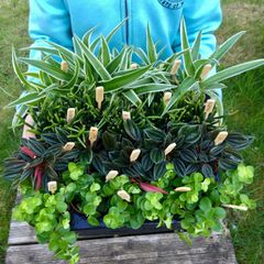 Set of 4 Mixed Foliage House Plants in 5.5cm Pots
