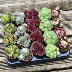 Tray of 20 Sempervivums in 5.5cm Pots | Outdoor Hardy Succulents