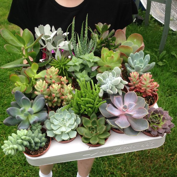 Tray of 20 Mixed Succulent Plants in 5.5cm Pots | Echeveria | Crassula | Aloe