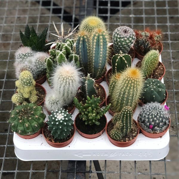 Tray of 20 Cacti in 5.5cm Pots | Indoor Houseplants
