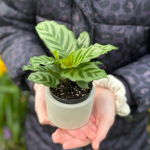Calathea Freddie in 7cm Pot | Concrete Plant Pot | Indoor Houseplant Gift