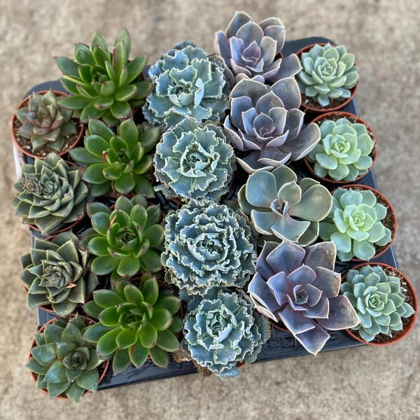 Echeveria Succulent Mix in 5.5cm Pots | Indoor Houseplant | Wedding Favour Gifts