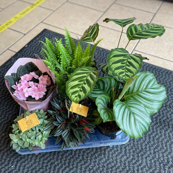 PET SAFE - Houseplant Collection (GLASGOW ONLY)
