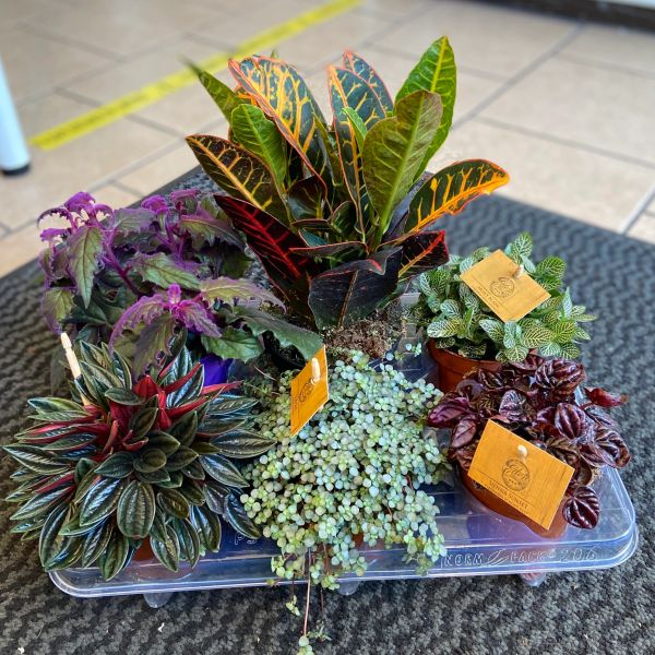 FUNKY FOLIAGE - Houseplant Collection (GLASGOW ONLY)