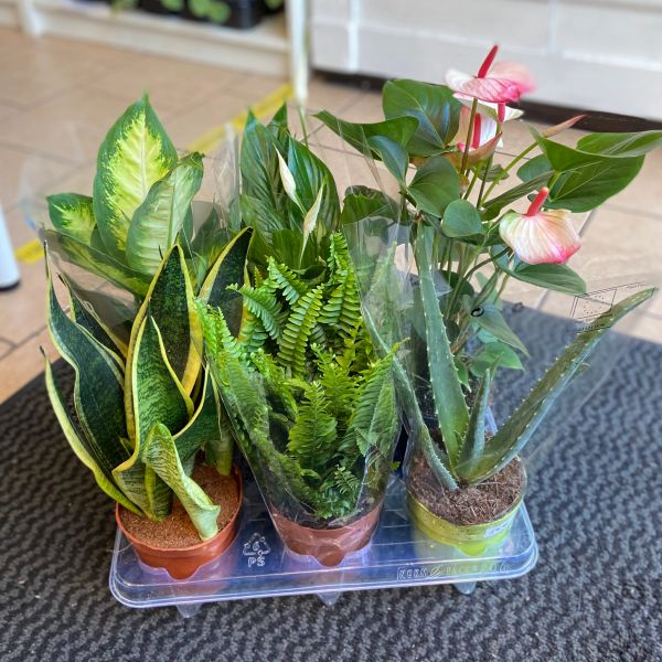 AIR PURIFYING PLANTS - Houseplant Collection