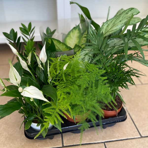 SHADE TOLERANT - Houseplant Collection