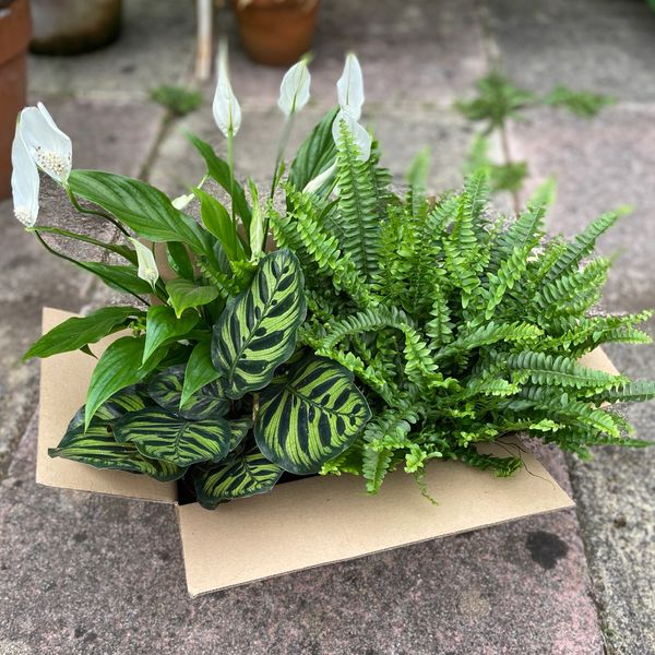 Houseplant Bundle Deal - Spathiphyllum (Peace Lily) 13cm | Boston Fern 12cm | Calathea Makoyana 12cm