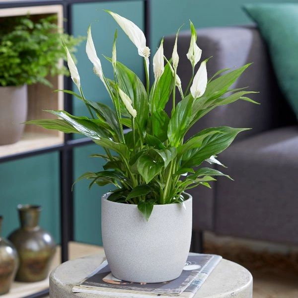 Spathiphyllum (Peace Lily) Plant 13cm (POT NOT INCLUDED)